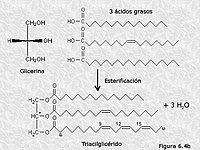 Formación de un triacilglicérido