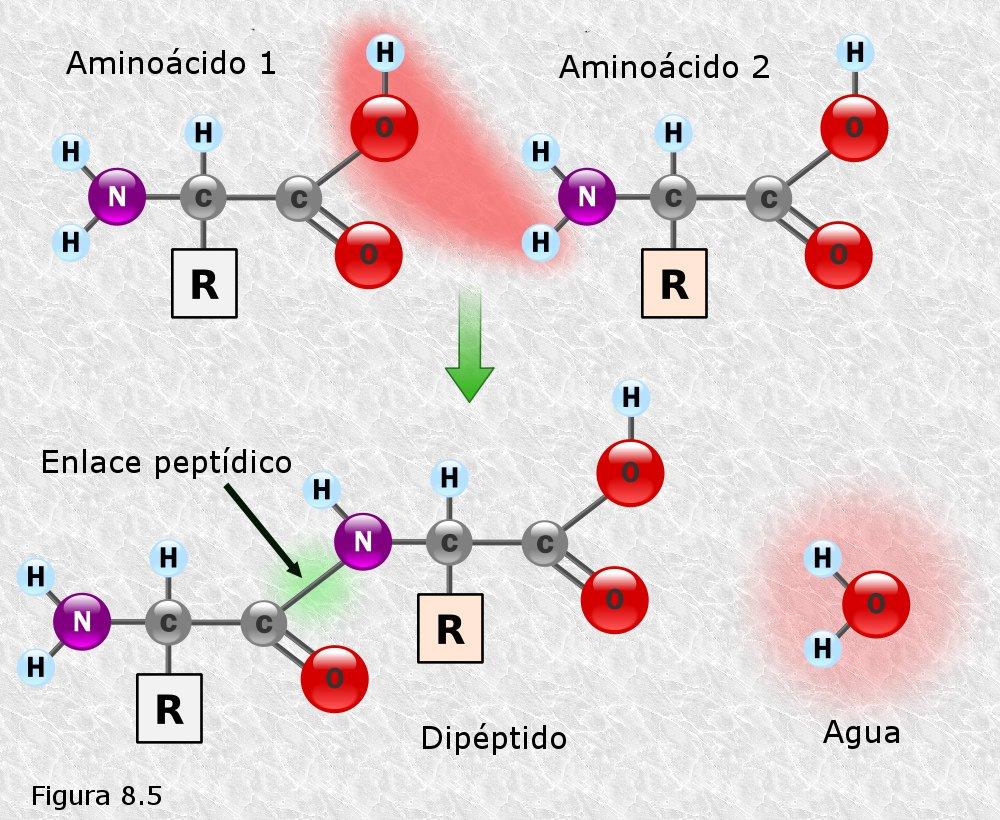 Soluciones A Las Preguntas Breves De Biomoleculas