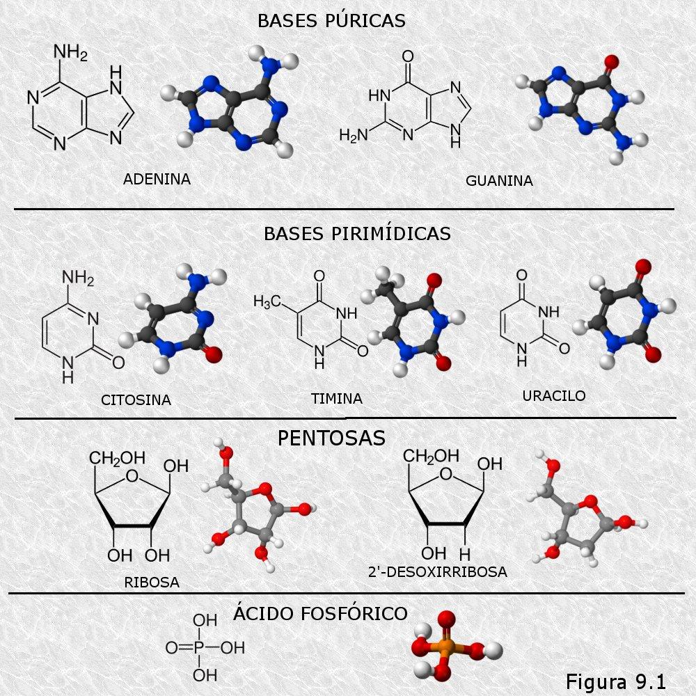 Imagenes de Los Acidos Nucleicos a Los ácidos Nucleicos a