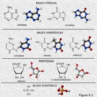 Componentes moleculares de los nucleótidos