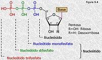 Nucleótidos mono, di y tri-fosfato