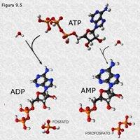 Nucleótidos transportadores de energía