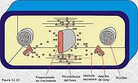 Citocinesis vegetal