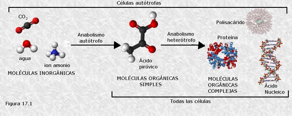 proceso anabolico ejemplos