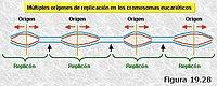 Orígenes múltiples de replicación en eucariotas