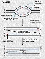 Replicación imperfecta en los telómeros de los cromosomas eucariotas