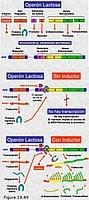Regulación de la expresión génica.El operón Lac