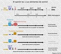 Regulación de la expresión génica. Sistemas con control positivo