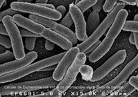 Células de Escherichia coli