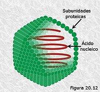 Cápside icosaédrica