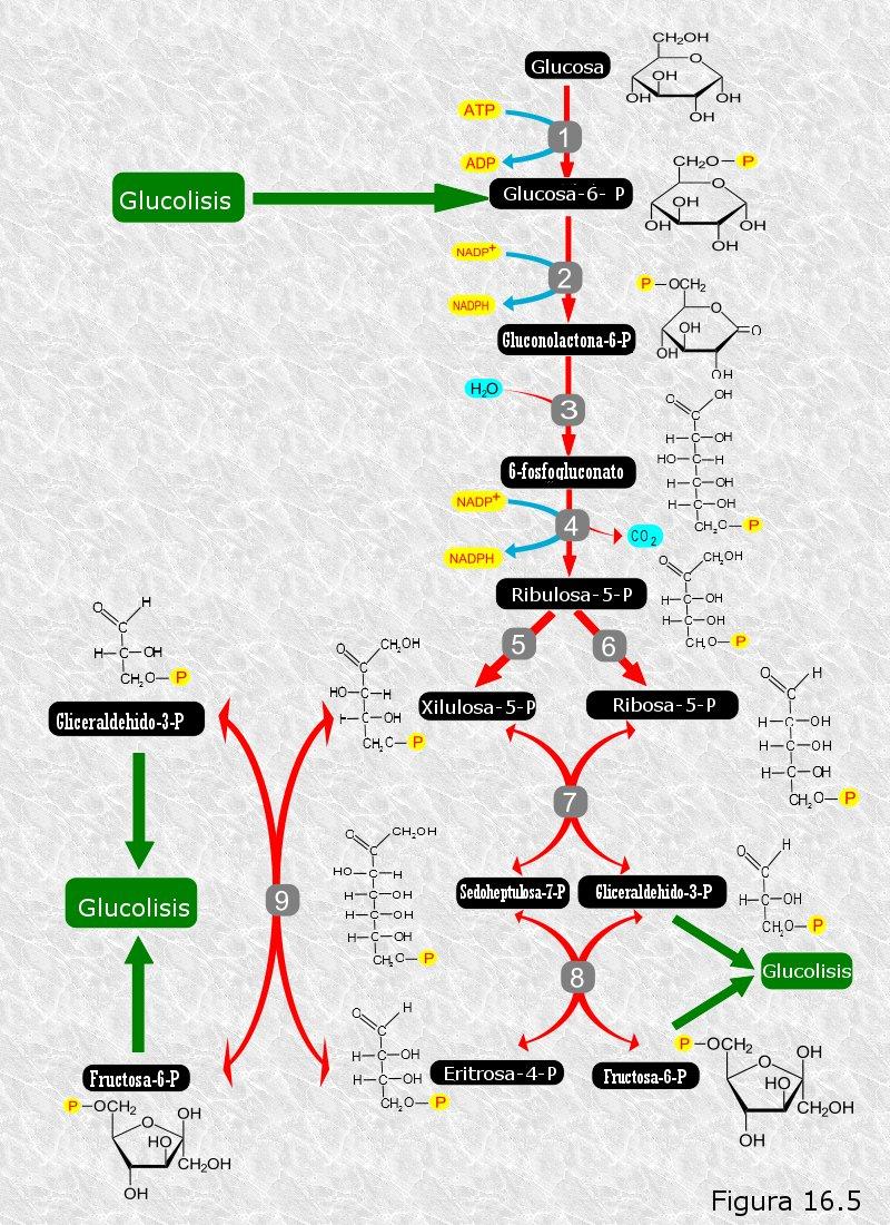 rutas metabolicas para la obtencion de energia